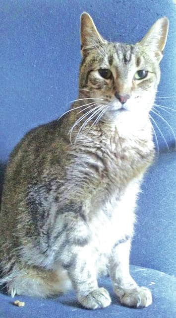 "The Highland County Humane Society Animal Shelter Pet of the Week is Sphinx, a male, neutered, 10-year-old cat. He wants to be close to you and on your lap as he was sitting on his last owner's lap when his owner passed away. He must go to a home without dogs. Other cats are OK. He loves to lounge around and watch birds. Visit the animal shelter, located on 9331 SR 124 east of Hillsboro, if you can provide a good home to any of the dogs or cats. For more information, call 937-393-2110. The shelter is open six days a week noon to 5 p.m. and is closed on Wednesdays. ""Please do not take your pets to fireworks,"" the Humane Society said. ""Their ears are very sensitive and every years there are lots of animals that get scared and run away from the noise. They are often lost and never find their way home."