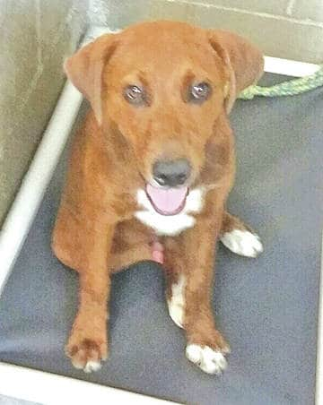 This is one of three labs the Highland County Humane Society Animal Shelter had up for adoption this week.