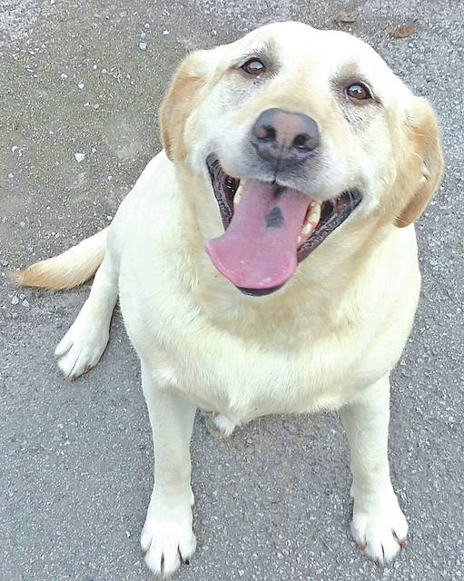 The Highland County Humane Society Pet of the Week is Goldie, a spayed 8-year-old golden lab. She loves to go on walks and does well on a leash. When you first meet her she will drop and roll over for a belly rub. If you have other dogs, Goldie must be fed by herself as she doesn't like other dogs around while she is eating. However, she has made no attempt to bite a human hand that is in her feeding bowl. Goldie is a bit overweight, but is a very sweet dog. She has been in a position to see cats and has made no aggression toward them. If you can provide Goldie or any of the other dogs or cats a good forever home, contact the Humane Society at 9331 SR 124, Hillsboro. For more information, call 937-393-2110. The shelter is open six days a week from noon to 5 p.m. It is closed Wednesdays.