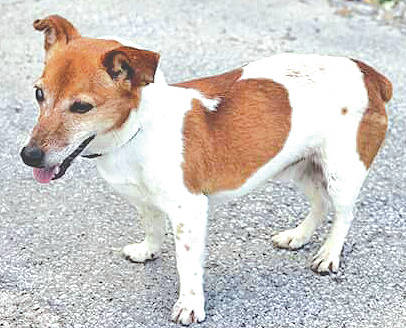 The Highland County Humane Society Pet of the Week is Buddy, an 8-year-old male Jack Russell. He has a handicap as he is partially blind in one eye and is currently on meds for this situation. Buddy was surrendered because he needs to be in a home where he is the only dog. He enjoys spending time and getting attention from people, walks well on a leash, and when loose stays right by your side. Visit the Humane Society Animal Shelter if you can provide a good home to Buddy or any of the other dogs or cats. The shelter has lots of playful kittens up for adoption, too. You can visit the shelter at 9331 SR 124, Hillsboro. For more information call: 937-393-2110. The shelter is open six days a week noon to 5 p.m. and is closed Wednesdays. The Humane Society's next pet adoption event will be at the Farmer's Market next to the Highland County Courthouse in Hillsboro on Saturday, Aug. 26 from 9 a.m. to 1 p.m.