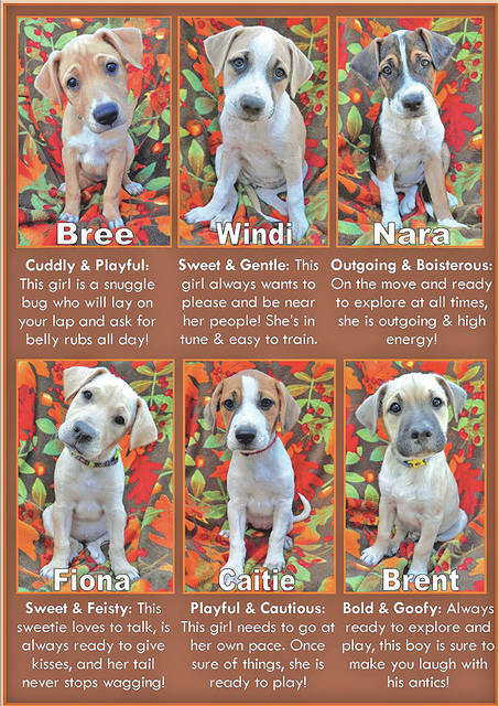 These six hound/lab mix puppies will be up for adoption Saturday at the sixth annual Barktoberfest being held at Holtfield Station in Hillsboro.