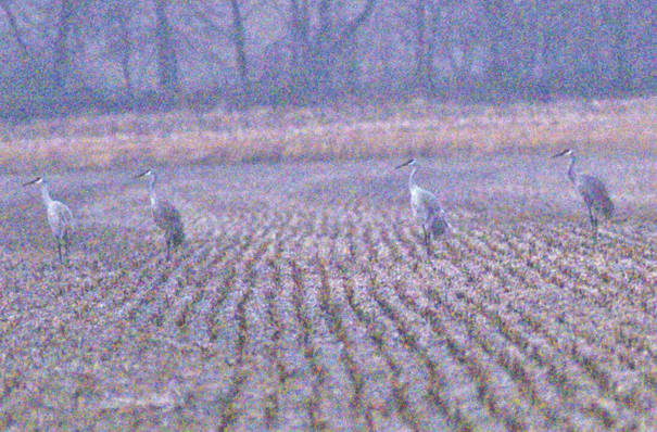 Sandhill cranes are pictured Saturday afternoon in a field off Franklin Road in New Market Township.