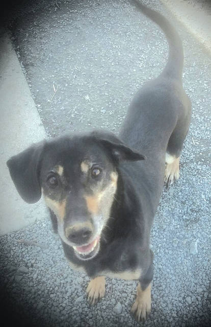 The Highland Humane Society Pet of the Week is Ladybird, an approximately 7-year-old female shepherd mix. She is full of energy and loves to run and play. Chasing her balls and playing fetch are her favorite games. Ladybird was turned in to the animal shelter by a Good Samaritan as an abandoned dog, but she is very happy. If you could give Ladybird a good forever home, or any of the other dogs and cats at the shelter a good home, contact the Humane Society at 9331 SR 124, P.O. Box 471, Hillsboro, Ohio 45133 or call the shelter at 937-393-2110. The shelter is open Tuesday through Saturday from noon to 5 p.m. and is closed Sunday and Monday. Its next Rascal Unit is May 8. The Rascal Unit is a low-cost spay/neuter mobile unit that the Highland County Humane Society brings to the Leesburg Fire Department (back building), every couple of months. It also performs some surgeries and offers shots for dogs and cats. If you are interested in bringing a dog or cat to the unit, contact the Humane Society, make an appointment and pay for the service in advance. The shelter is also in need of donations for its yearly yard sale on Saturday, July 7. Donate anything except clothing.