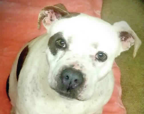 The Highland Humane Society Pet of the Week is Miss Lyn, a 4-year-old spayed female pit bull. Miss Lyn was surrendered by an elderly person who has become ill and unable to care for her anymore. She is a low key dog who is used to the slow life. She is used to living inside the house, is housebroken and probably would do best as an only pet. If you could give Miss Ly, or any of the other dogs and cats at the shelter, a good home, contact the shelter 937-393-2110. The shelter is open Tuesday through Saturday from noono to 5 p.m. It is closed Sunday and Monday. The shelter's next Rascal Unit, a low cost spay, neuter mobile unit that the Highland Humane Society brings to the Leesburg Fire Department (back building), every couple of months, is June 27. It also performs some surgeries and shots for dogs and cats. If you are interested in bringing your dog or cat in, you must contact the Highland County Humane Society, make an appointment, and pay for the service in advance.