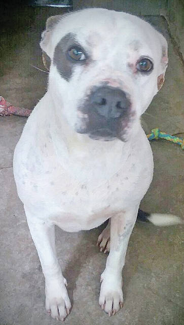 The Highland Humane Society Pet of the Week is Miss Lyn, a 4 year old spayed female pit mull. Miss Lyn was surrendered by an elderly person who has become ill and unable to care for her anymore. She is a low-key dog who is used to the slow life. She is used to living inside the house and is housebroken and probably would do best as an only pet. If you could give Miss Lyn, or any of the other dogs and cats at the Highland County Humane Society Animal Shelter a good home, visit the shelter at 9331 SR 124, east of Hillsboro, or call 937-393-2110. The shelter is open Tuesday to Saturday from noon to 5 p.m. and is closed Sunday and Monday. If you are interested in kittens, she shelter has some ready for adoption. It is also accepting donations for its annhual yard sale to be held on July 7, Bring any donation, except clothing, to the Humane Society.